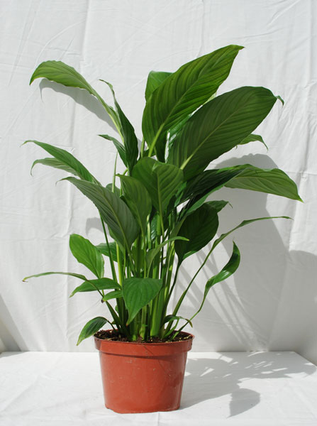 feel free to browse through some of the varieties we grow in the photo gallery below - Tropical House Plants
