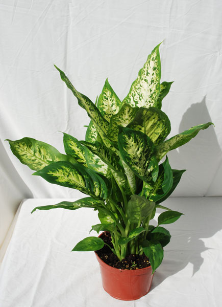 indoor houseplants foothill tropicals inc indoor tropical house plants